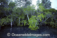 Mangrove trees Willie Creek Photo - Gary Bell