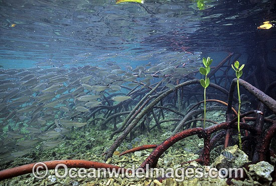 Anchovy amongst Mangrove roots photo