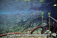 Anchovy amongst Mangrove roots Photo - Gary Bell