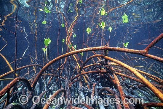 Mangrove roots Rhizophora stylosa photo