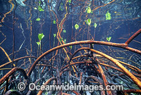 Mangrove roots Rhizophora stylosa Photo - Gary Bell