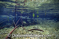 Anchovy amongst Mangroves Photo - Gary Bell