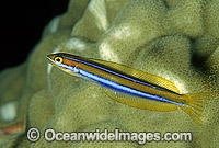 Blue-lined Sabretooth Blenny Photo - Gary Bell