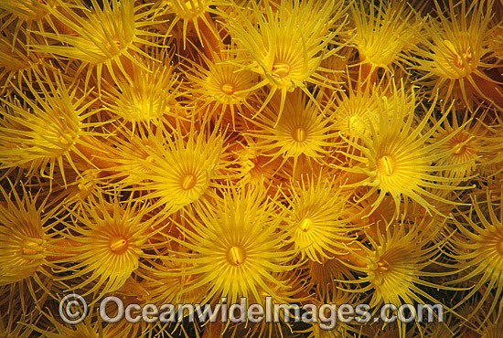 Colony of Yellow Zoanthids (Parazoanthus sp.). Southern Australia