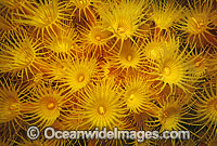 Colony of Yellow Zoanthids Photo - Gary Bell