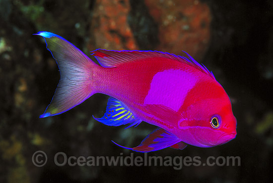 Square-spot Basslet (Pseudanthias pleurotaenia) - male. Also known as Mirror Basslet. Indo-Pacific