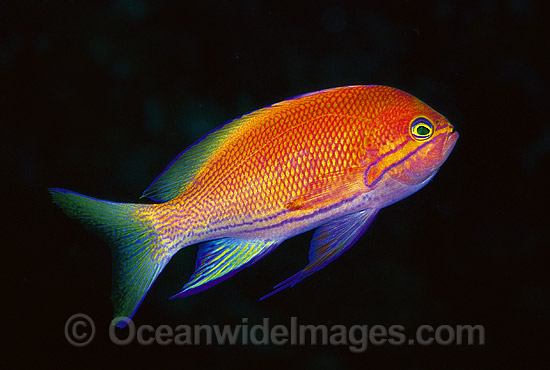 Square-spot Basslet (Pseudanthias pleurotaenia) - female. Also known as Mirror Basslet. Indo-Pacific. Within the Coral Triangle.