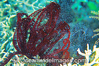 Feather Star spawning photo