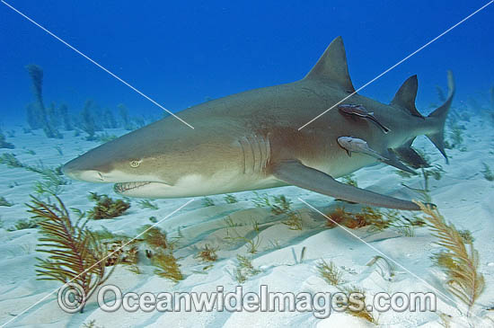 Lemon Shark (Negaprion brevirostris) - with Remora Suckerfish attached. Tiger Beach, Bahamas, Caribbean Sea, Atlantic Ocean.
