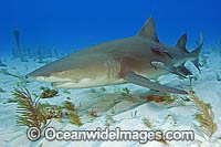 Lemon Shark with Remora Suckerfish Photo - Andy Murch