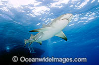 Lemon Shark with Remora Suckerfish