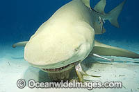 Lemon Shark feeding Photo - Andy Murch