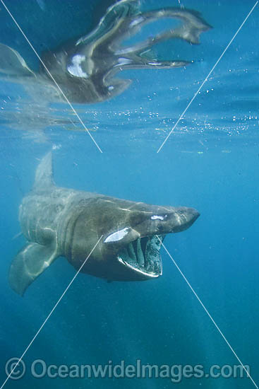 Basking Shark (Cetorhinus maximus) filter feeding on plankton. A single living species in the Family: Cetorhinidae, attaining 10m in length. Harmless to humans. Lizard Peninsula, Cornwall, United Kingdom