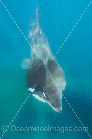 Basking Shark (Cetorhinus maximus). A single living species in the Family: Cetorhinidae. A plankton feeder, attaining 10m in length. Harmless to humans. Lizard Peninsula, Cornwall, United Kingdom