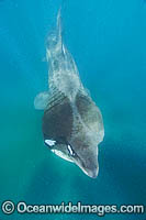 Basking Shark Cetorhinus maximus Photo - Andy Murch