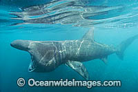 Basking Shark  filter feeding on plankton Photo - Andy Murch
