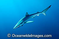Blue Shark or Great Blue Shark photo