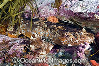 Cobbler Wobbegong Shark Photo - Andy Murch