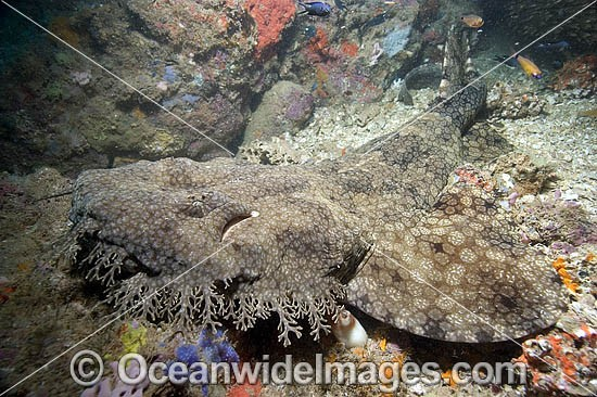 Tasselled Wobbegong Shark (Eucrossorhinus dasypogon). Also known as Ogilbys Wobbegong and Carpet Shark. Ningaloo Reef, Exmouth, Western Australia Photo - Andy Murch