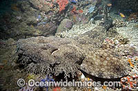 Tasselled Wobbegong Shark Photo - Andy Murch