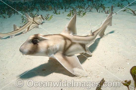 Port Jackson Shark (Heterodontus portusjacksoni) - juvenile. Also known as Bullhead, Oyster Crusher and Tabbijaw. Albany, Western Australia Photo - Andy Murch