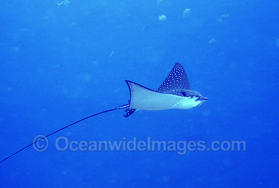 White-spotted Eagle Ray (Aetobatus narinari). Also known as Bonnet Skate, Duckbill Ray and Spotted Eagle Ray. Great Barrier Reef, Queensland, Australia