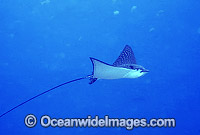 White-spotted Eagle Ray Photo - Gary Bell