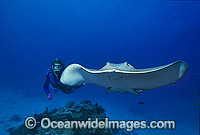 Scuba Diver with Cowtail Stingray Photo - Gary Bell