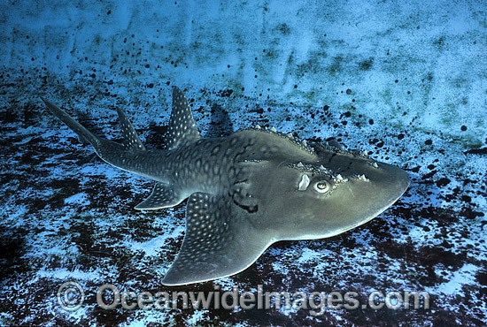 Shark Ray (Rhina ancylostoma). Also known as Bowmouth Guitarfish and Mud Skate (aquarium photo). New South Wales, Australia. Photo - Gary Bell