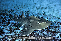 Shark Ray Rhina ancylostoma photo