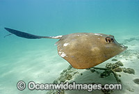 Cowtail Stingray Pastinachus sephen Photo - Andy Murch