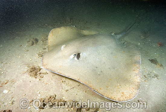 Jenkins Whipray (Himantura jenkinsii). Also known as Roughback Stingray and Jenkins Stingray. Exmouth, Western Australia Photo - Andy Murch