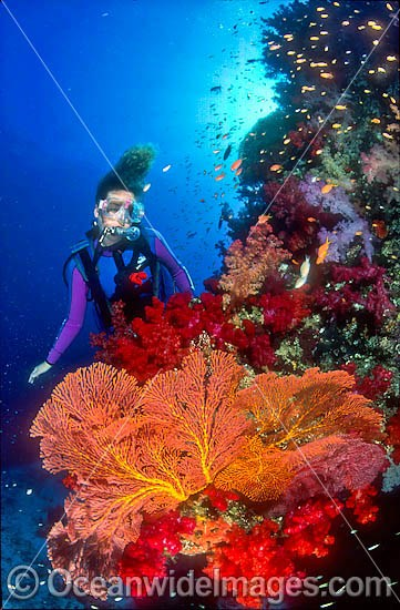 Scuba Diver exploring Coral reef with Gorgonian Fan Coral. Great Barrier Reef, Queensland, Australia Photo - Gary Bell