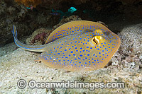 Blue-spotted Fantail Ray Taeniura lymma photo
