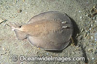 Coffin Ray Hypnos monopterygium Photo - Andy Murch