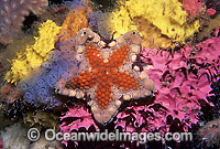 Biscuit Star Tosia australis Photo - Gary Bell