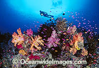 Scuba Diver Fairy Basslets Soft Coral Photo - Gary Bell