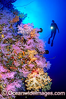 Scuba Diver with Soft Corals Photo - Gary Bell