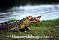 Estuarine Crocodile feeding on fowl Photo - Gary Bell