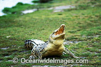 Saltwater Crocodile Photo - Gary Bell