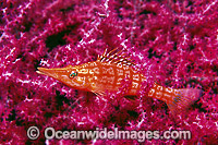 Hawkfish on Gorgonian Fan Coral