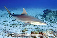Blacknose Shark Carcharhinus acronotus photo