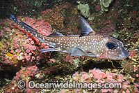 Spotted Ratfish Chimaera Photo - Andy Murch