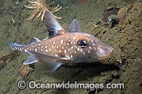 Spotted Ratfish Hydrolagus colliei Chimaera Photo - Andy Murch