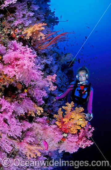 Scuba Diver exploring undersea dropoff decorated in Dendronephthya Soft Corals. Indo-Pacific Photo - Gary Bell