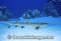 Whitetip Reef Shark resting on sandy bottom Photo - Gary Bell