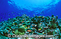 Underwater reef scene Hard Corals fish Photo - Gary Bell