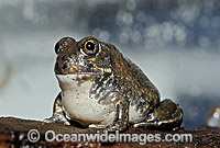 Trilling Frog Photo - Rudie Kuiter