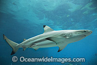 Blacktip Reef Shark Photo - Gary Bell