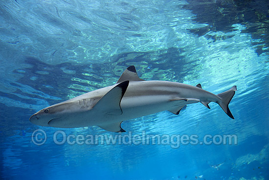 Blacktip Reef Shark (Carcharhinus melanopterus). Also known as Blacktip Shark. Great Barrier Reef, Queensland, Australia
